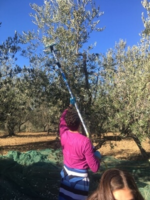 Hand-picking olives in Morphou/Guzelyurt. Hand-held electrical rakes help to pick the olives out of reach without any damages to trees.