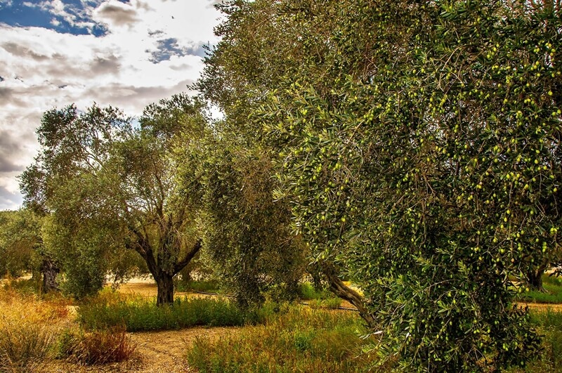 An olive tree with branches loaded with olives under cloudy skies of fall or winter by Colive team