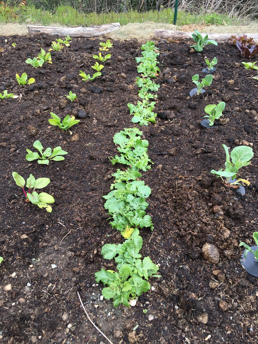 Single-sown turnips in the centre row.
