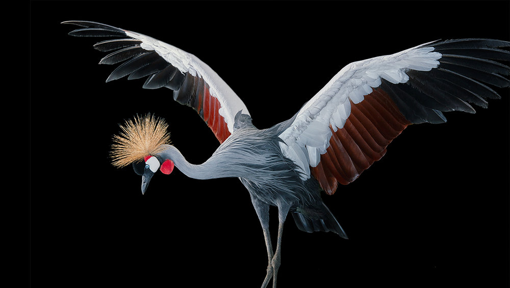 Grey crowned crane from Birds, image copyright © Tim Flach