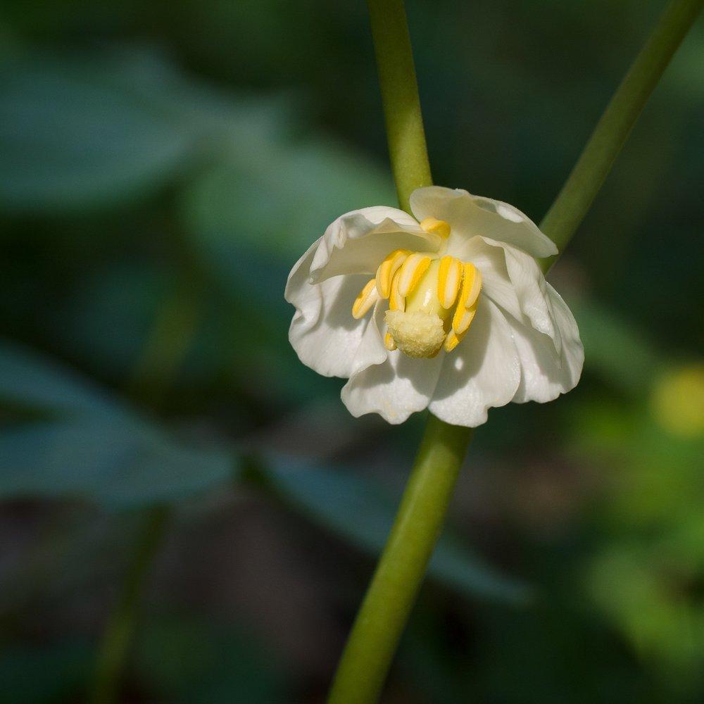 May Apple // Podophyllum peltatum