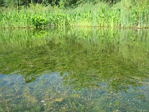 hydrilla_west.png
