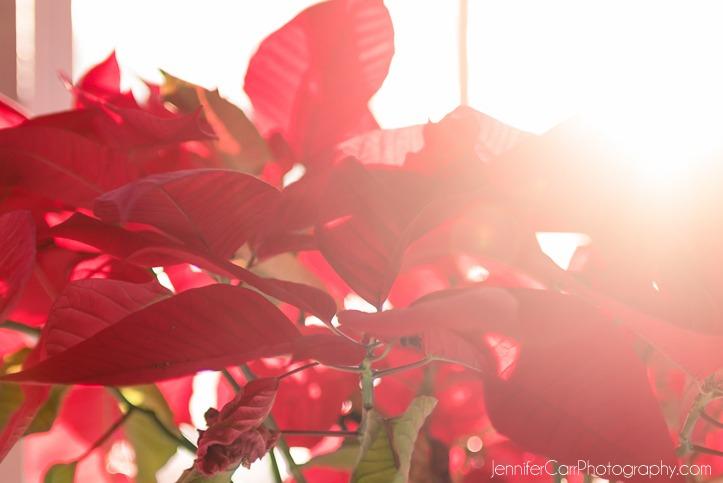 红色的 poinsettia, christmas, winter, sunlight