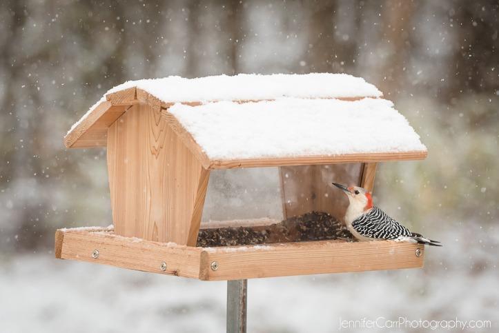 雪摄影,弗吉尼亚海滩摄影师,啄木鸟