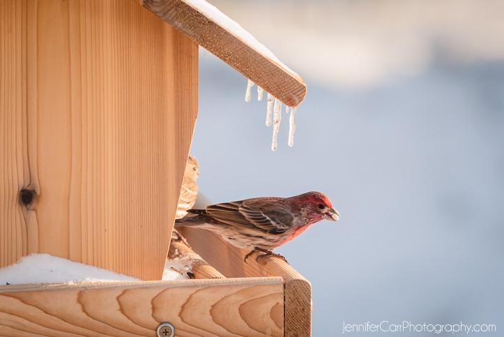 雪摄影,弗吉尼亚海滩摄影师,雀科