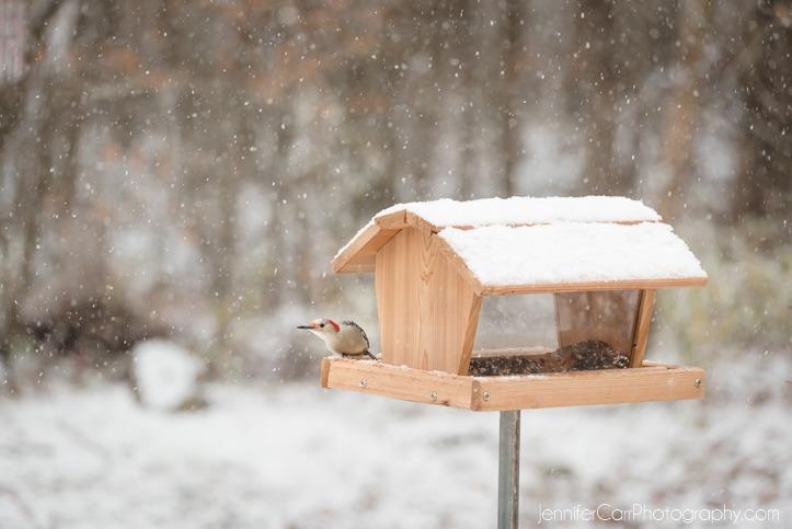 01.22.16红腹啄木鸟©詹妮弗·卡尔摄影 723