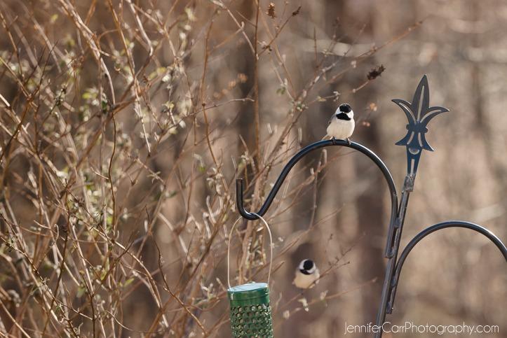 02.11.16 Chickadee ©詹妮弗·卡尔摄影 723