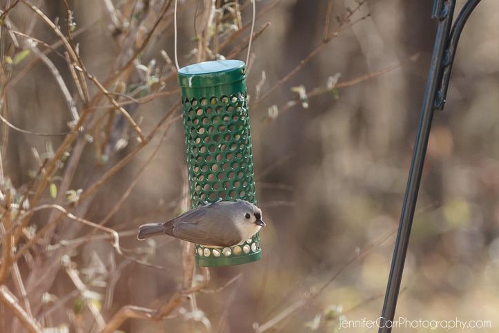 16.11.16簇绒山雀©詹妮弗·卡尔摄影-2 723