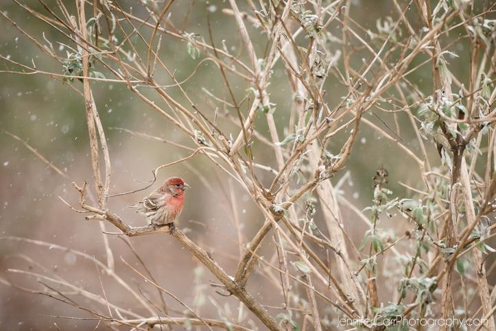 16年12月2日,男性家雀科©詹妮弗·卡尔摄影 723