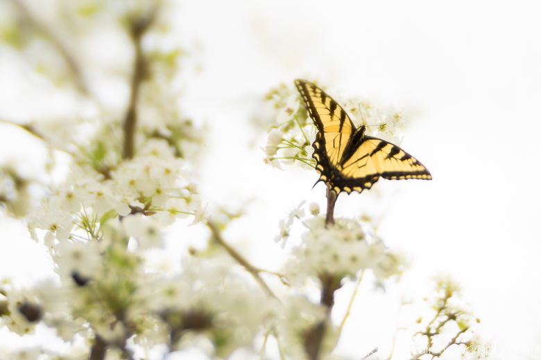 tiger swallowtail butterfly on a blooming dogwood tree