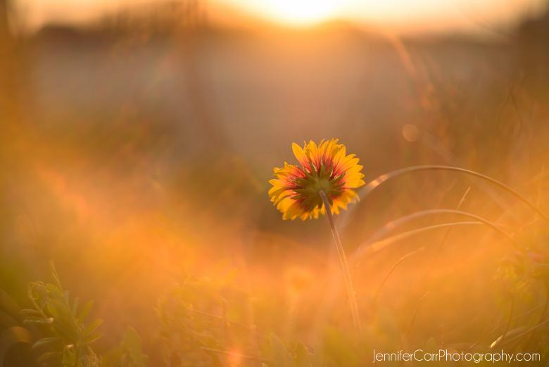 daisy, sunlight, photography, flowers, helios
