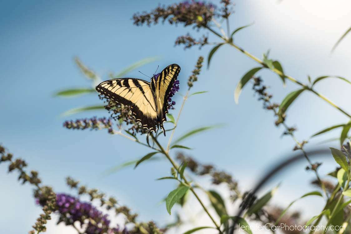 老虎燕尾蝴蝶,弗吉尼亚海滩摄影