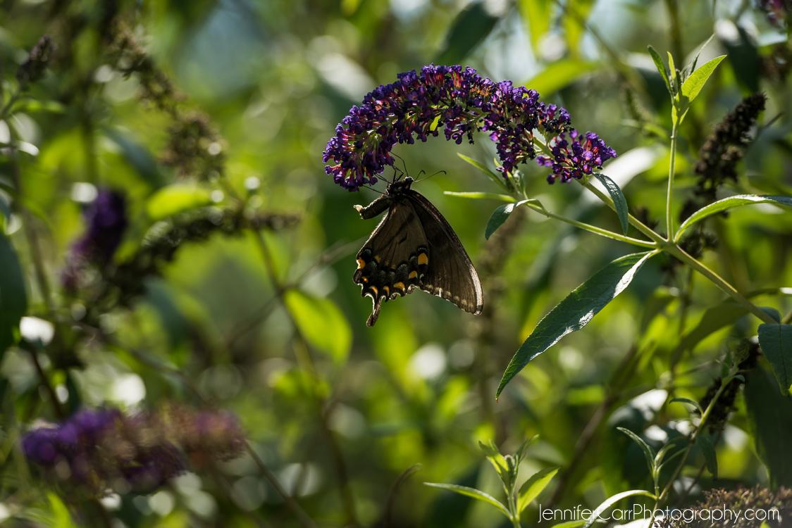 黑燕尾蝴蝶,弗吉尼亚海滩摄影