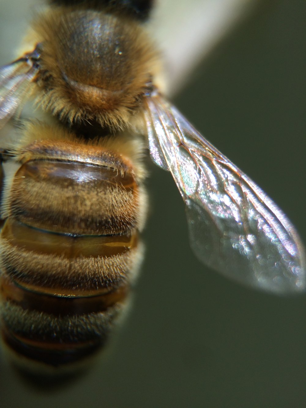 Macro x21 magnification of worker (female) bee.