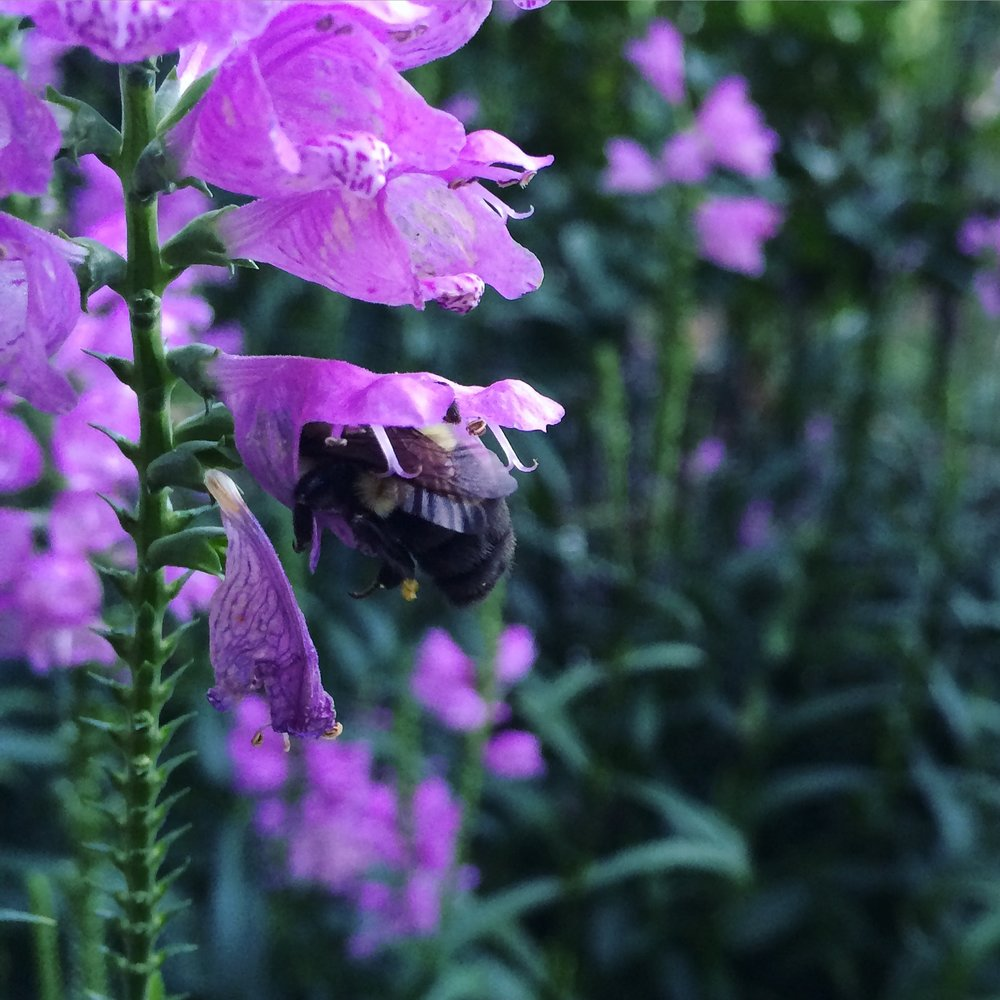 An unidentifiable species of bumble bee (Bombus) gettin' in there.
