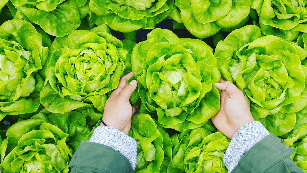 Hands reaching into a bed of lettuce as seen from above.