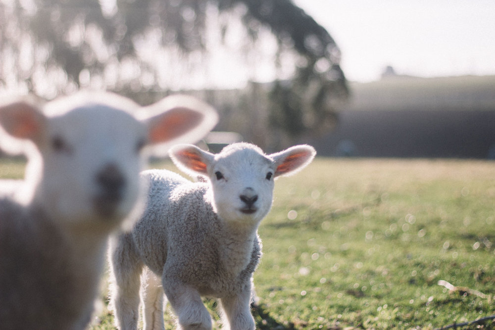 a pair of young lambs in a sunny field