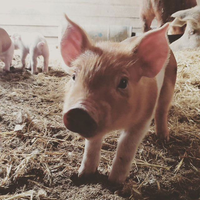 baby-pig.jpg
