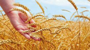 wheat-625_625x350_61439015108