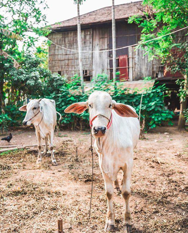 Meeting the locals! @aktravel_usa #cambodia #cows #travel #exploring #wheresweiler
