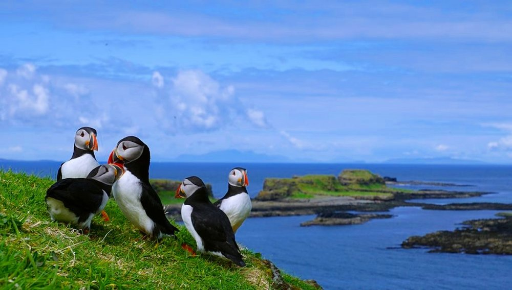 group-of-puffins-lunga-island-1021x580.jpg