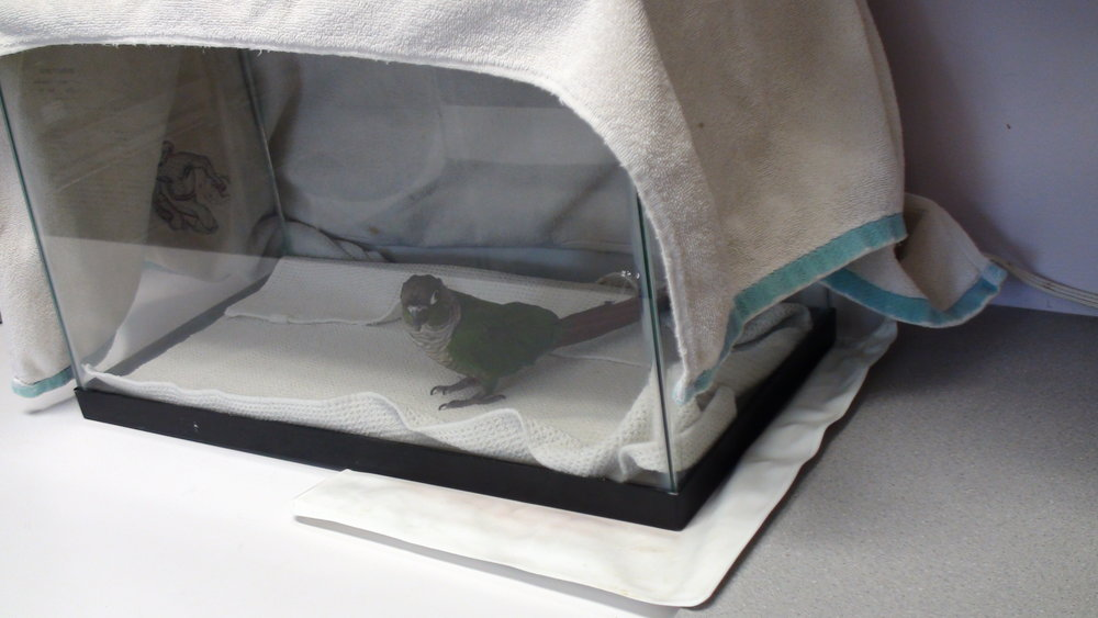 - An ill bird in an aquarium, half on a heating pad set on low. The temperature should be kept at 80-85 degrees.