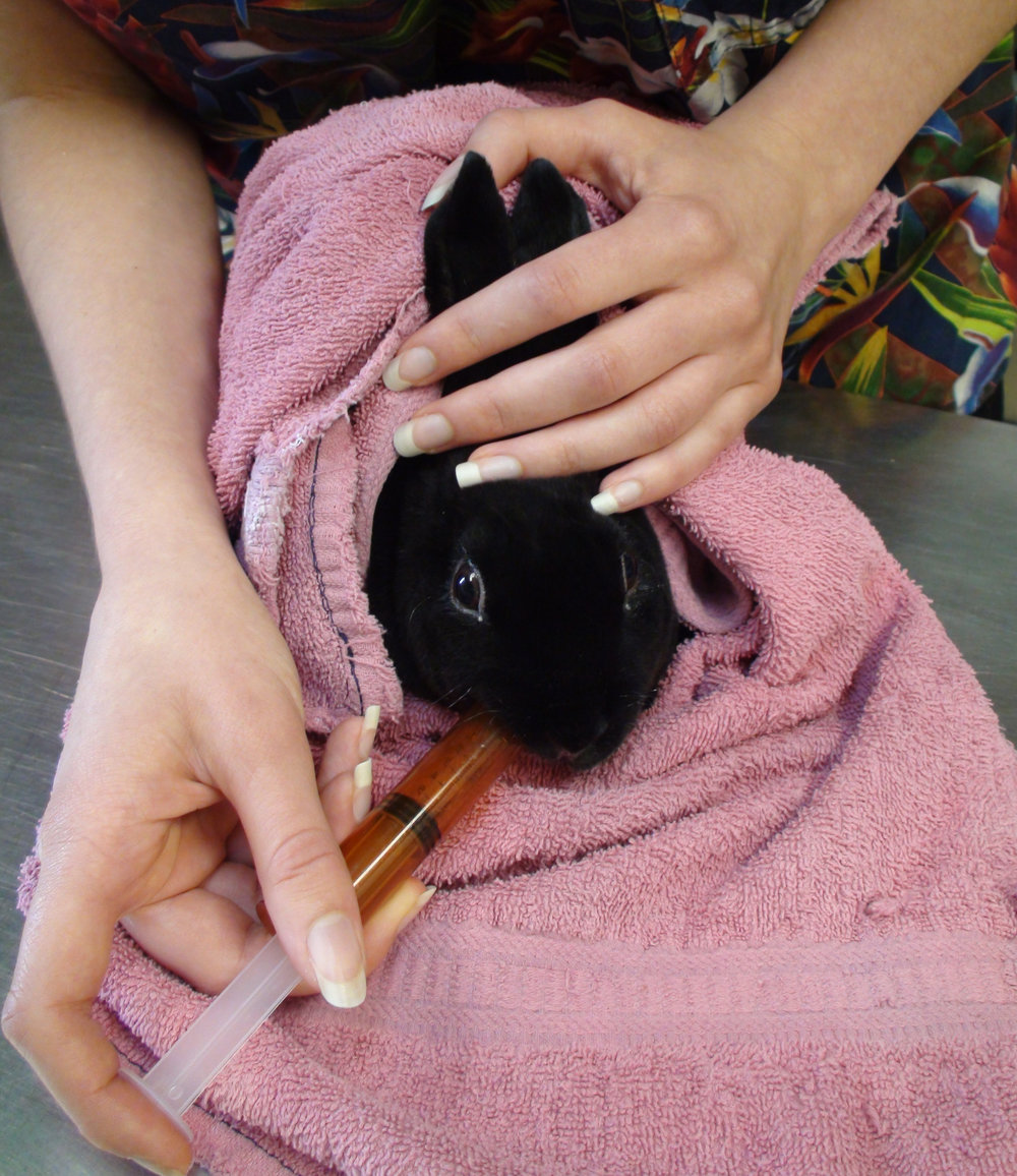 """- To hand feed an anorexic rabbit, wrap the rabbit in a secure towel """"burrito."""" Stabilize the head with one hand and gently introduce the syringe or eyedropper into the side of the mouth with the other hand. Feed slowly."""