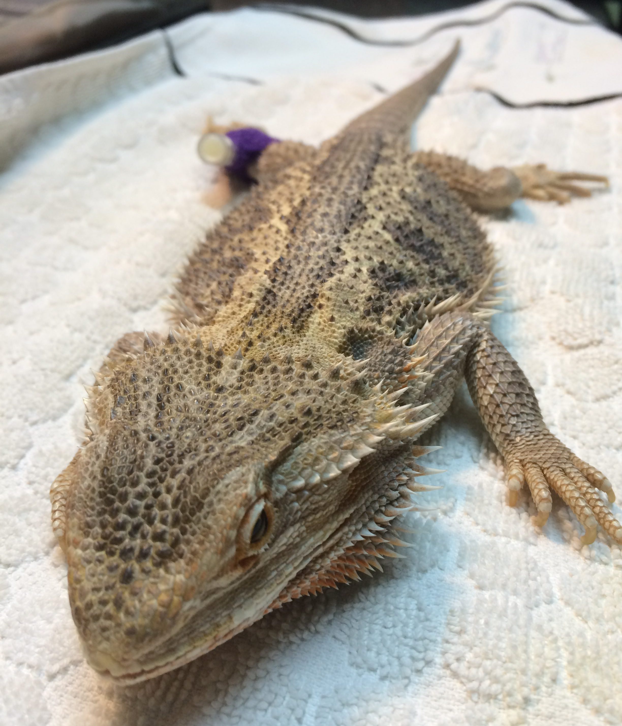 """Here is our recipient Bearded Dragon """"Butterscotch"""" who is weak from a very low red cell count of uncertain origin. She has been sedated to place her intraosseous catheter, which is inserted into a bone, as IV catheters are challenging to place, especially in sick patients. The process was made more comfortable by the use of a lidocaine (local) block."""