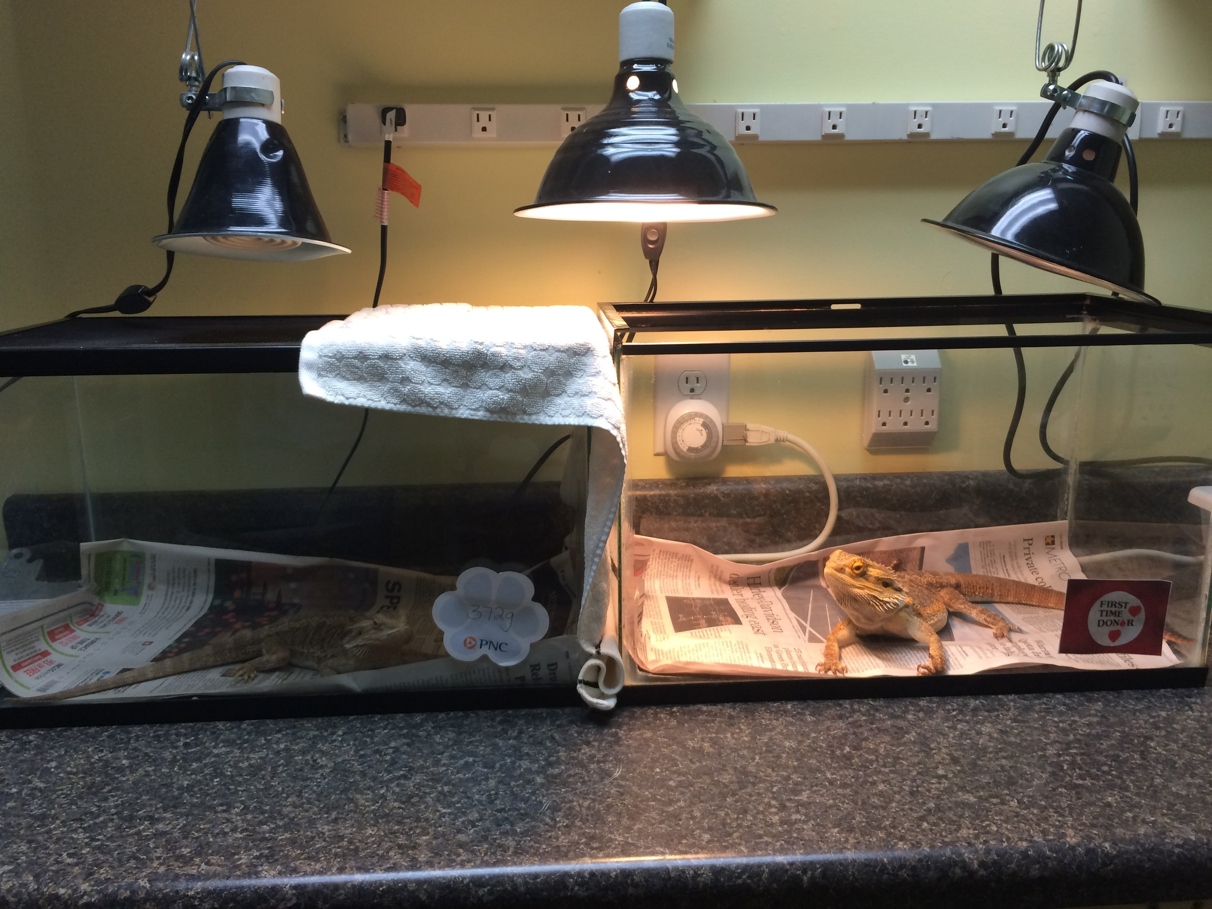 """Here is """"Butterscotch"""" on the left, feeling a little better after the transfusion, and """"Chain"""" on the right. There is a visual barrier between the two because even though they cooperated today, in real life adult bearded dragons are usually not so peaceful and willing to help each other!"""