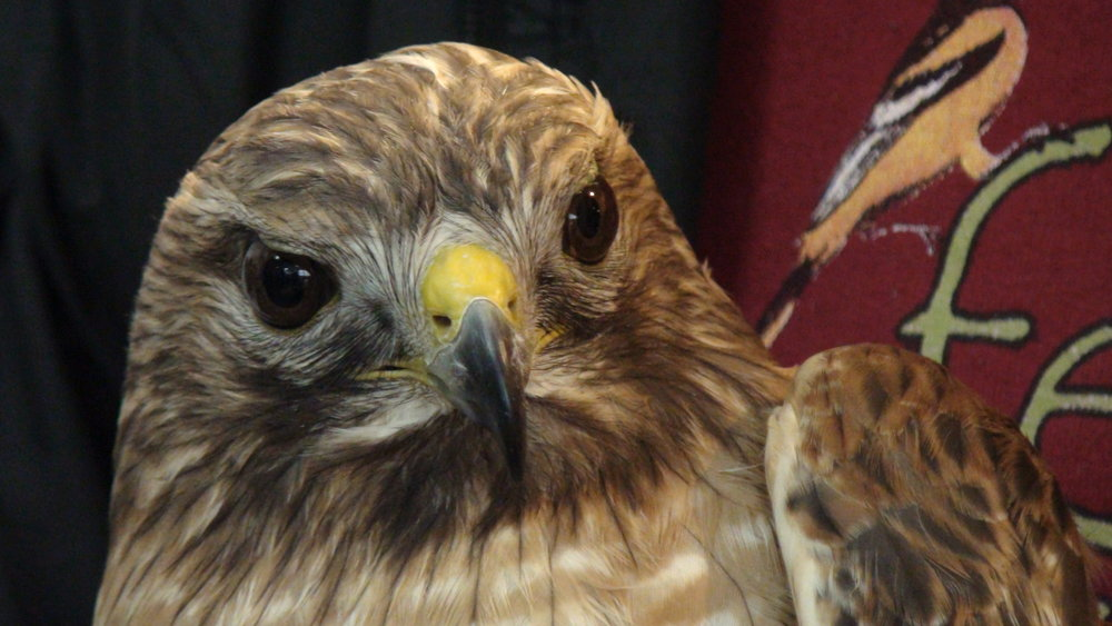 RedSh+Hawk.JPG