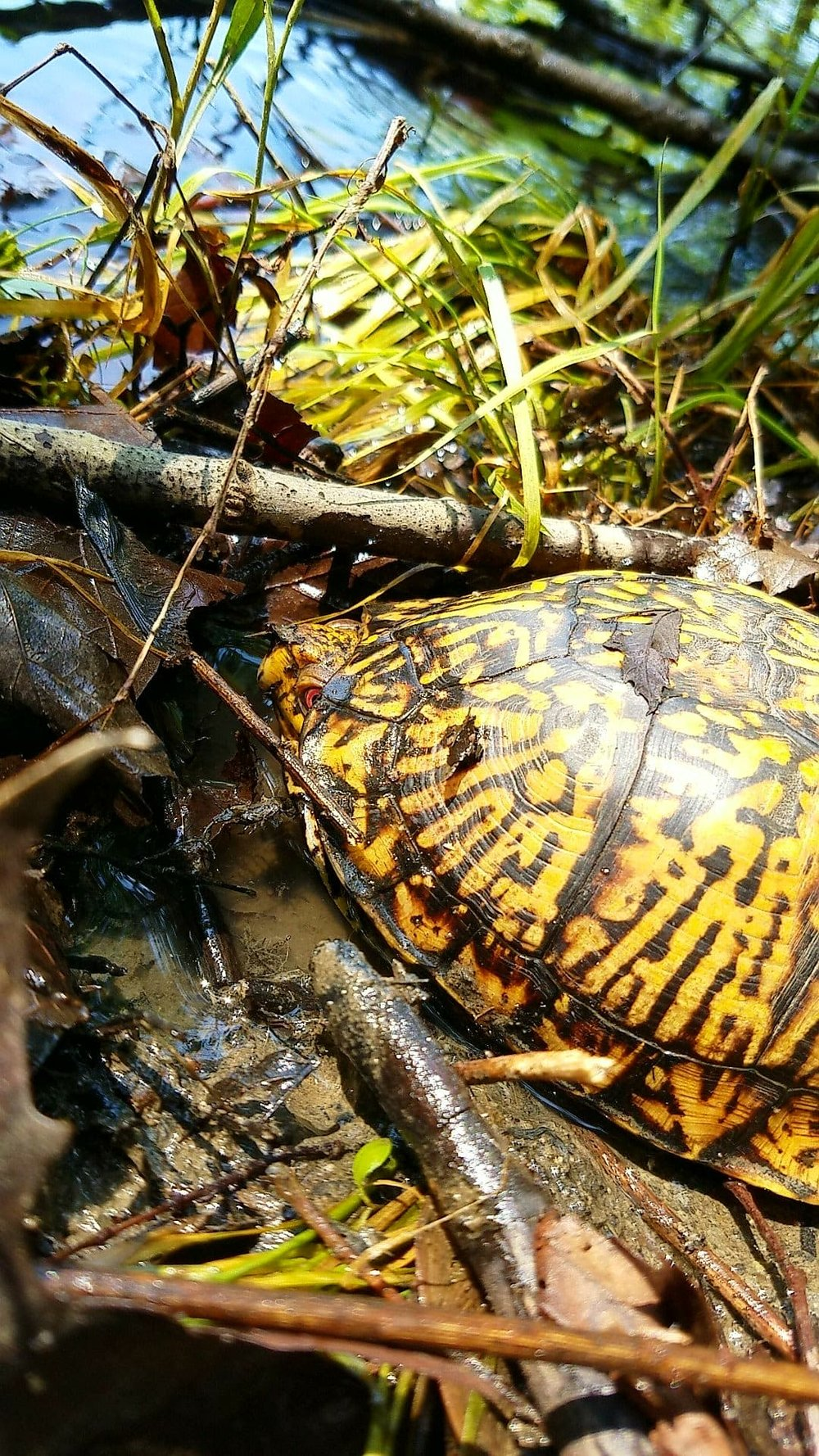 box turtle 2.jpg