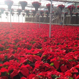 Poinsettia_Greenhouse