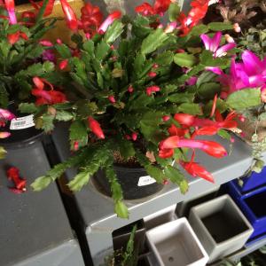 Christmas Cactus GrowIt!