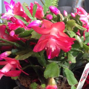 Christmas Cactus GrowIt!2