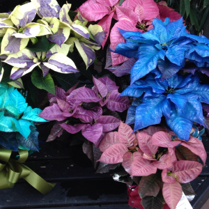Painted Poinsettia GrowIt