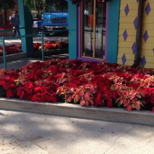 Growit Poinsettia Disney 2