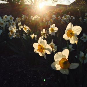 daffodil_nickflax