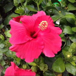Hibiscus_GrowIt