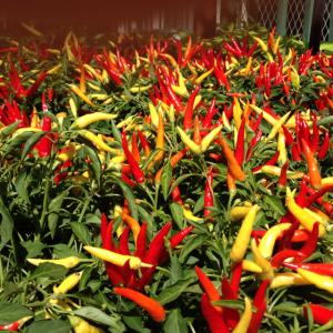 Ornamental Pepper2_GrowIt