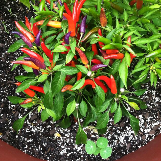 growit ornamental pep