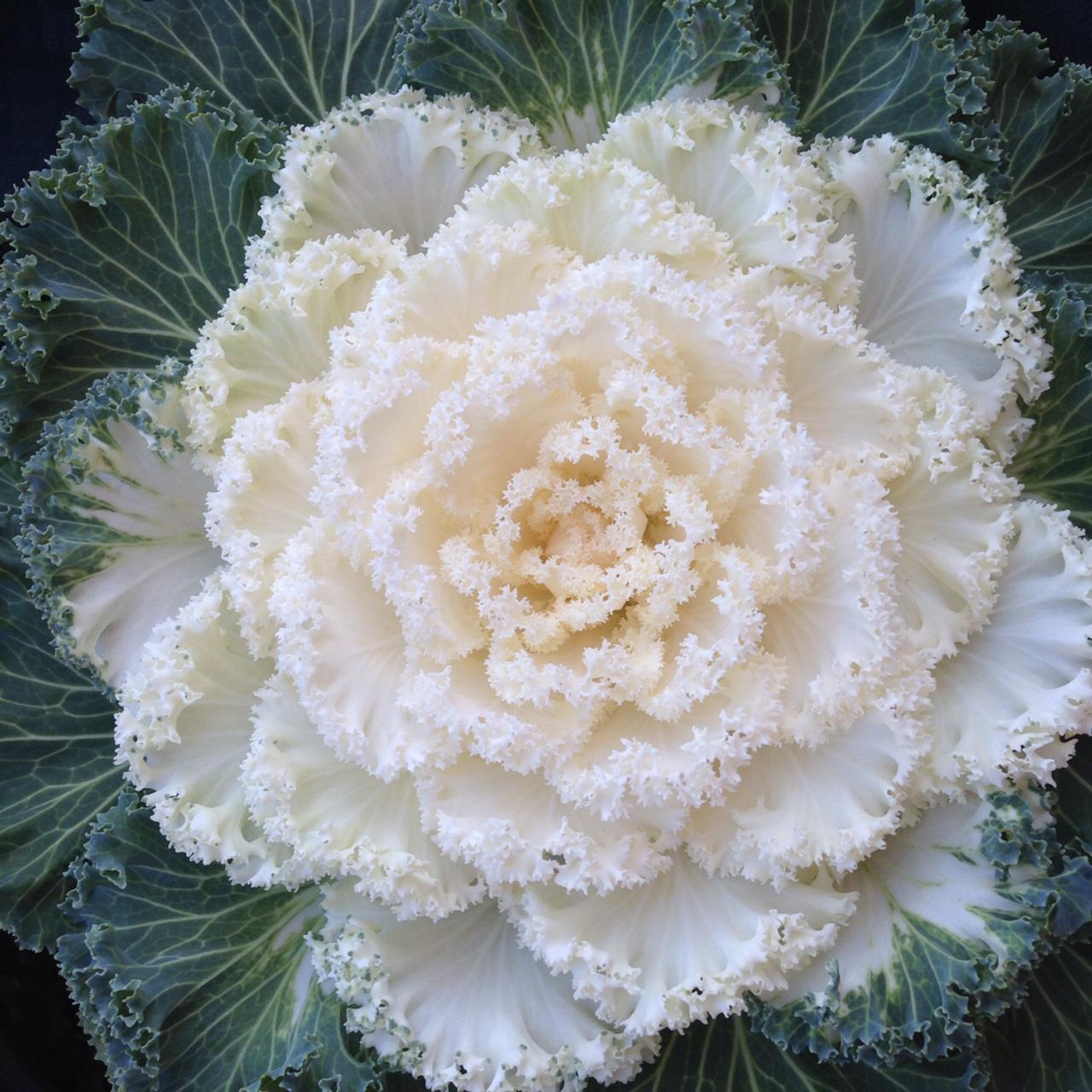 kale growit