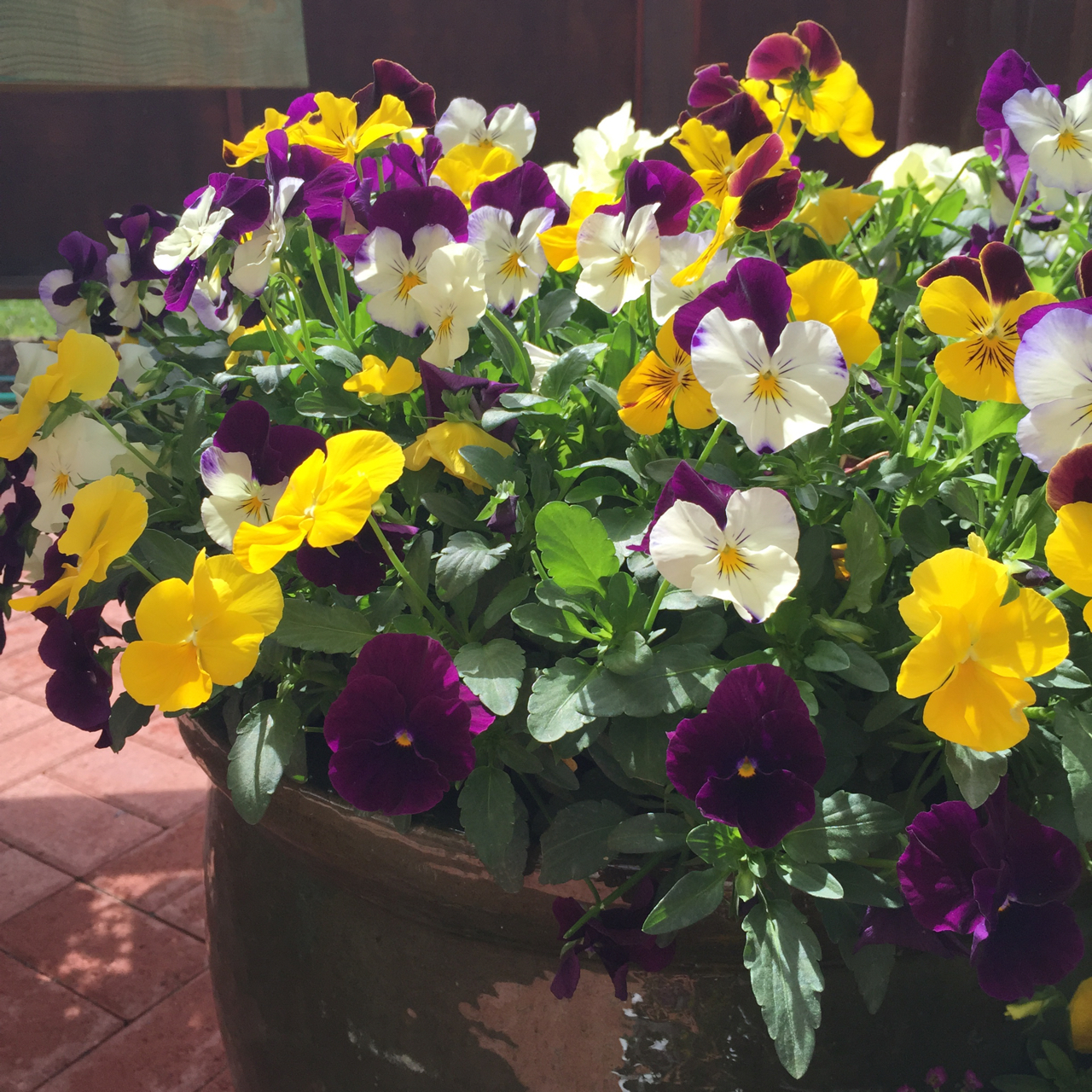 pansy growit
