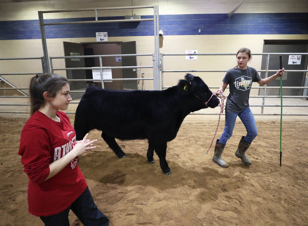 Morgan Perez teaches Lauren Maroul how to show a heifer while practicing at the Dickinson Agriculture Science Facility on Tuesday, Feb. 26, 2019. Perez teaches students in need of extra help with handling livestock and showmanship.