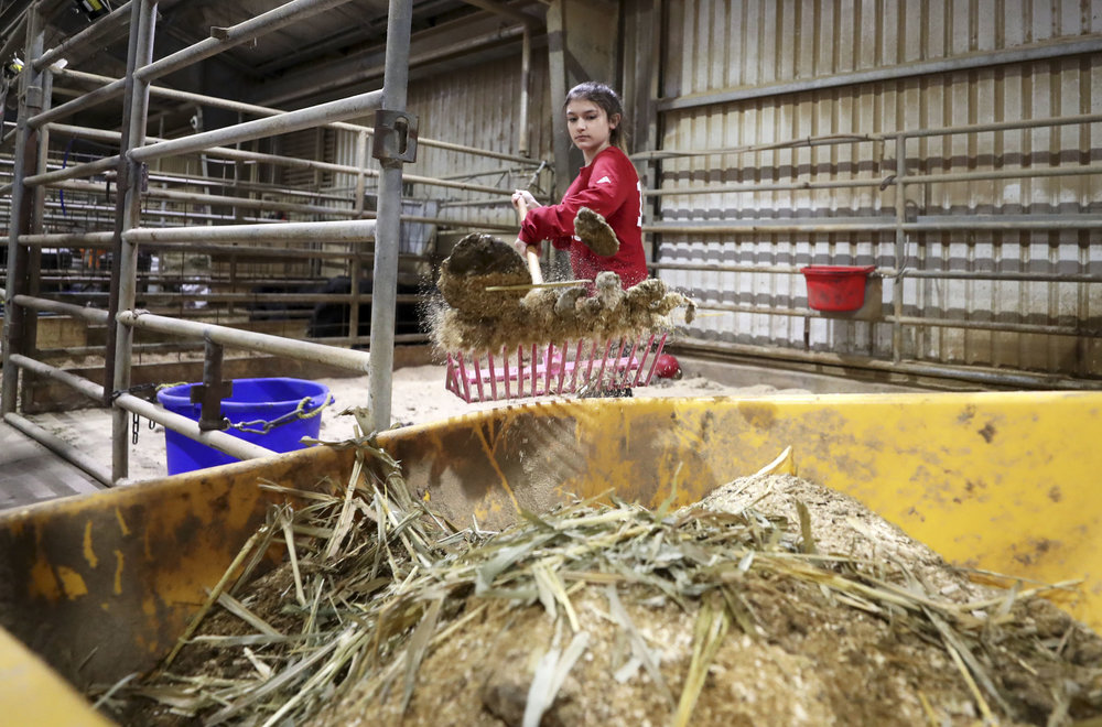 Morgan Perez cleans her heifer, Mavis' stall at the Dickinson Agriculture Science Facility on Tuesday, Feb. 26, 2019. Perez must brush, feed, clean and practice with her two animals every day.
