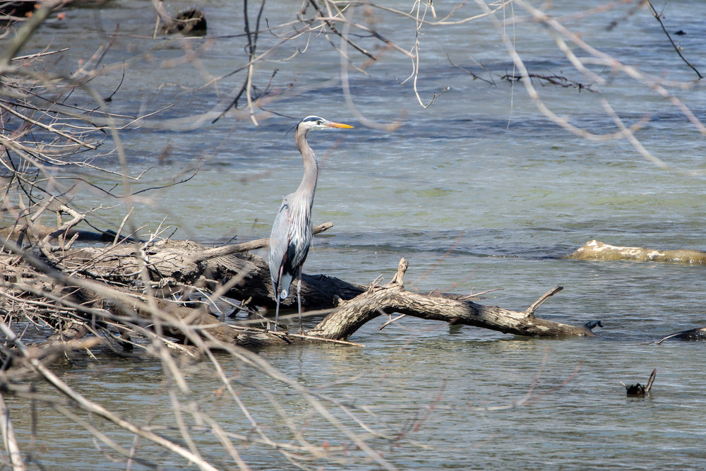 "March 22, 2019. I went to the river at lunch to try and see what I might photograph. The sun was harsh and getting a pleasing color to the photo was difficult. I did get to capture this heron. I had what I thought was an amazing photo of it flying into the position you see here, but ultimately the photo was lacking in detail and seemed to have some blur, particularly on the bird's face. But, I did get this and a few other photos. So, I guess I was working on ""making the best of what I got"" in trying to get a decent photo in challenging light. I also am trying to work on my Lightroom and Photoshop skills with this set. I had some great photos of this heron in another location, but there are beer cans and litter surrounding it (I hate litter). Anyway, I am finding I am becoming quite fond of photographing birds. There is some majestic about them and capturing them is quite thrilling."