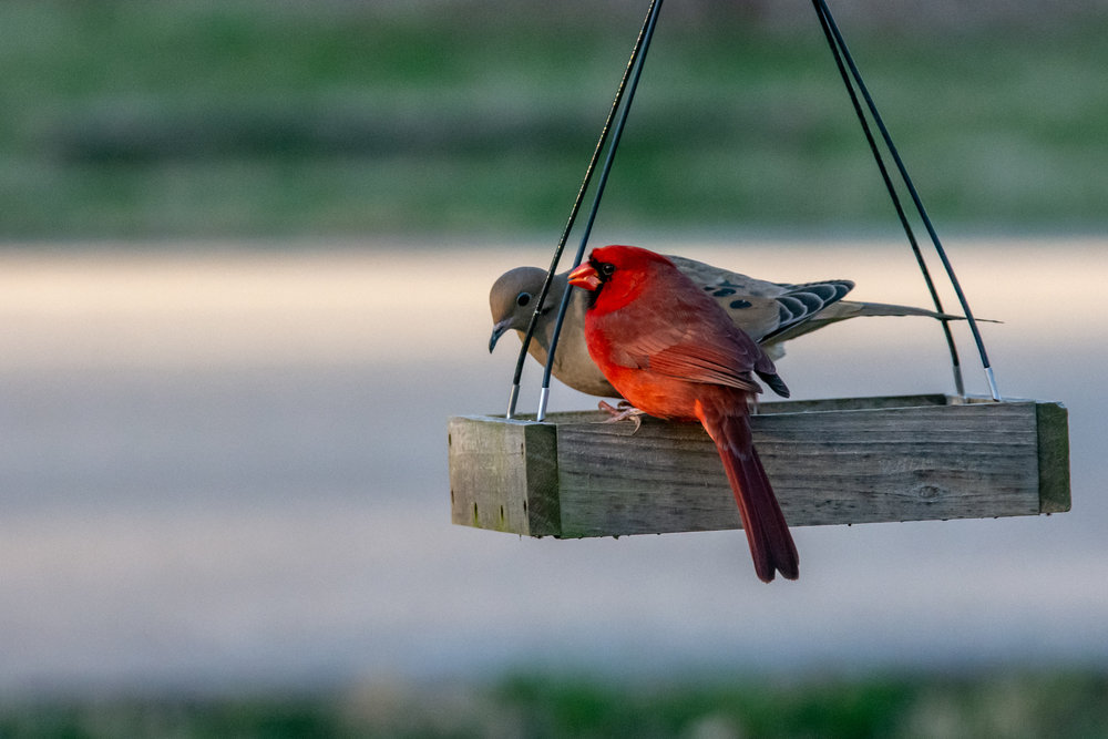 March 31, 2019. Okay several days without a photo. Work has kept me from getting out to do anything meaningful. But I have been working in improving my bird photography at the feeders by my house. While I am still struggling to get birds in flight, I have been getting better at focus on birds. Also, I am working on some editing to improve the finish product.