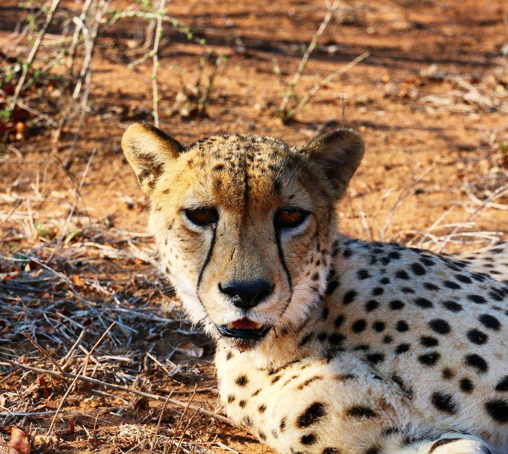 cheetah-south-africa-1