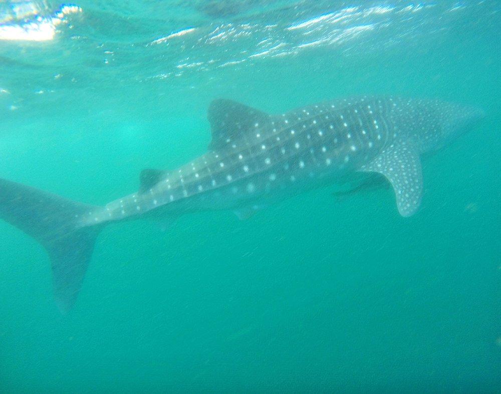whale-shark-tour