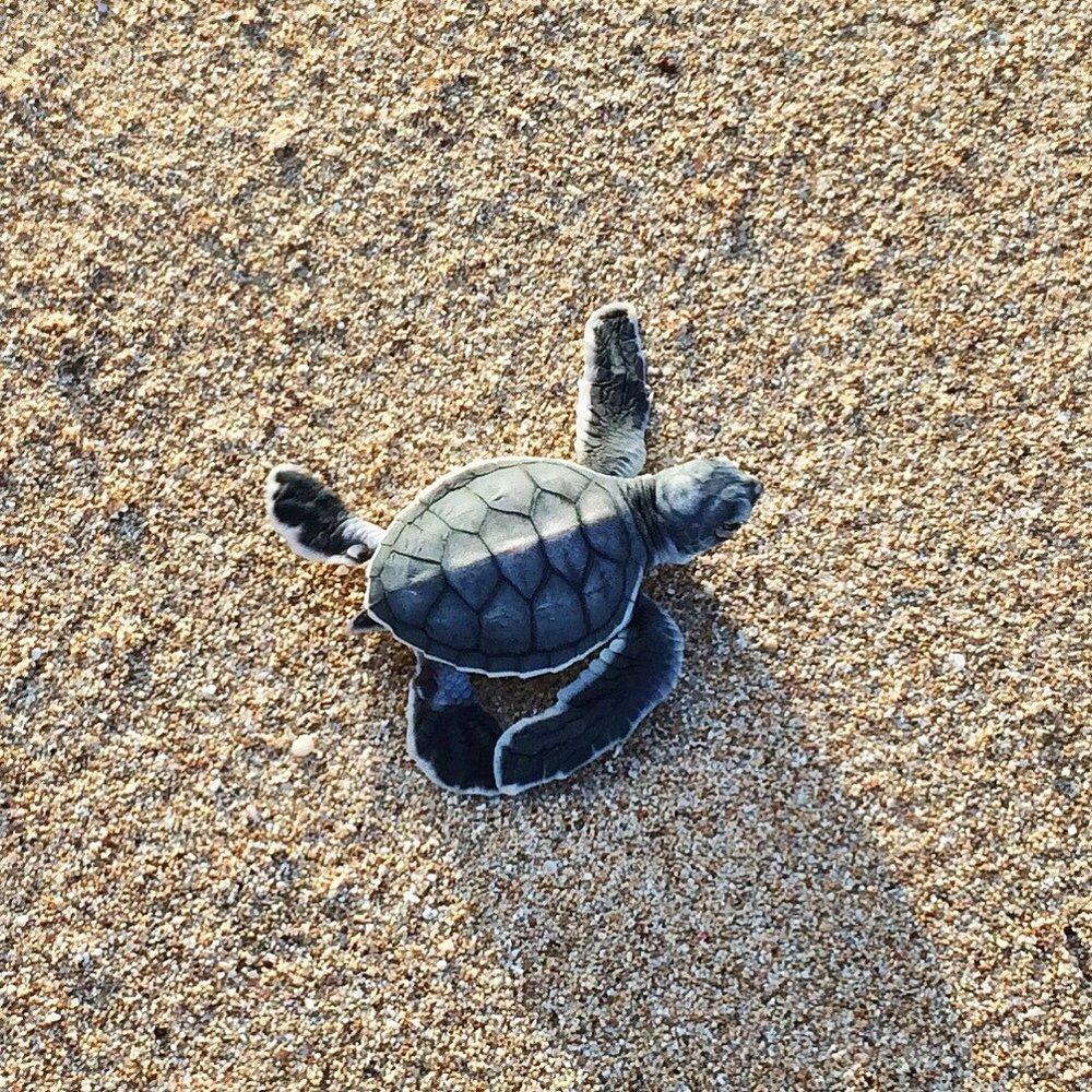 turtle-australia