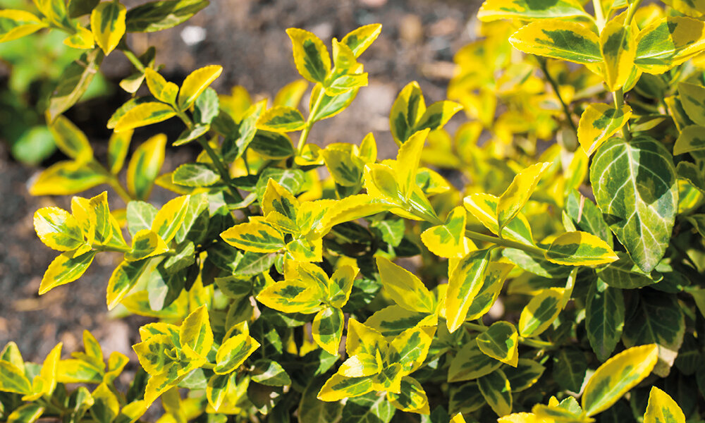 Image result for Cardinals Euonymus